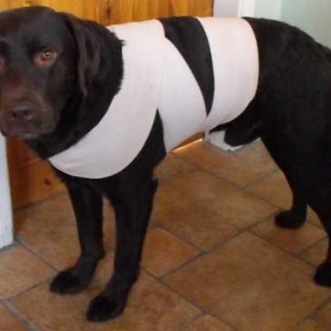 Truque do pano: Proteja o cachorro do barulho feito por fogos de artifício